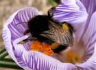 Bourdon avec du pollen