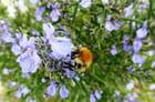 Bourdon butinant une fleur de romarin