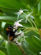 Bourdon et fleur de crassula