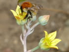 Bourdon et fleurs de succulentes