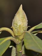 Bourgeon de rhododendron