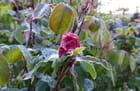 Bouton de rose givré (26 avril 2017)