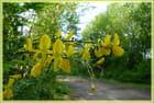 Branche de genêt dans la forêt