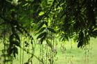 Branches de glycine