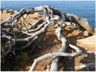 Branches de pin maritime