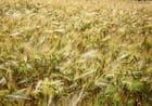 Bruissement du vent dans les ors de l'été