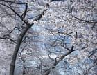 Building dans les cerisiers en fleur