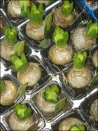 Bulbes de jacinthes