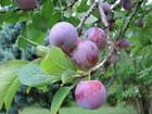 C'est la saison des prunes