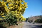 c'est la saison du mimosa