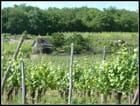 Cabane de vignes...