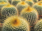 Cactus Ananas