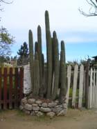 Cactus chilien