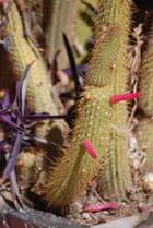 Cactus d'Argentine
