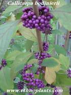 callicarpa bodinieri arbre bonbons