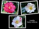Camélia à fleurs variées