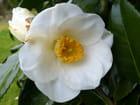 Camélia blanc pur