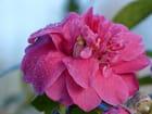 Camélia et rosée