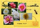 Camélias  fleurs reines de l'hiver