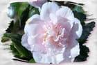 Camélia rose tendre