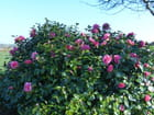 Camellia Blue Danube