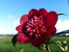 Camellia Bob's Tinsie