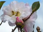 """Camellia""""Chrissie's retic"""""""