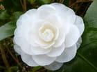 "Camellia""Compacta alba"""