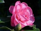Camellia Dream Boat