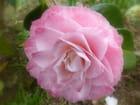 "Camellia"" Grace Albritton"""