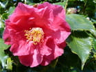 Camellia Holly Bright
