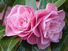 """Camellia""""Joe Nuccio"""""""