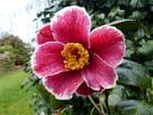 Camellia Kakure-iso