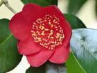 Camellia Kimberley