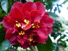 Camellia Maroon and gold