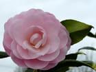Camellia Nuccio's Cameo