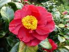 Camellia San Dimas