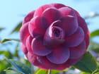 Camellia Sir Victor Daevis