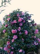 Camellia Sprite