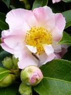 Camellia Tiptoe