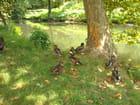Canard mandarin au milieu de ses camarades d'espèces différentes