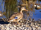 Canard solitaire