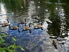 Canards sur le plan d'eau,parc de Rouelles