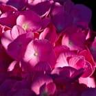 Caré rose