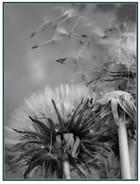 caresse du vent sur pissenlit