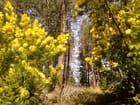 Cascade de mimosas