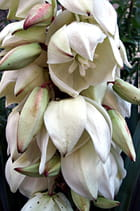 Cascatelle de fleurs de Yucca