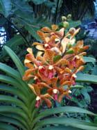 Orchidée Archnis