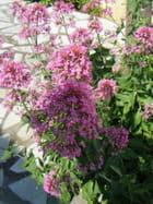 Centranthus (valériane)