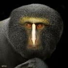 Cercopithèque à tête de hibou